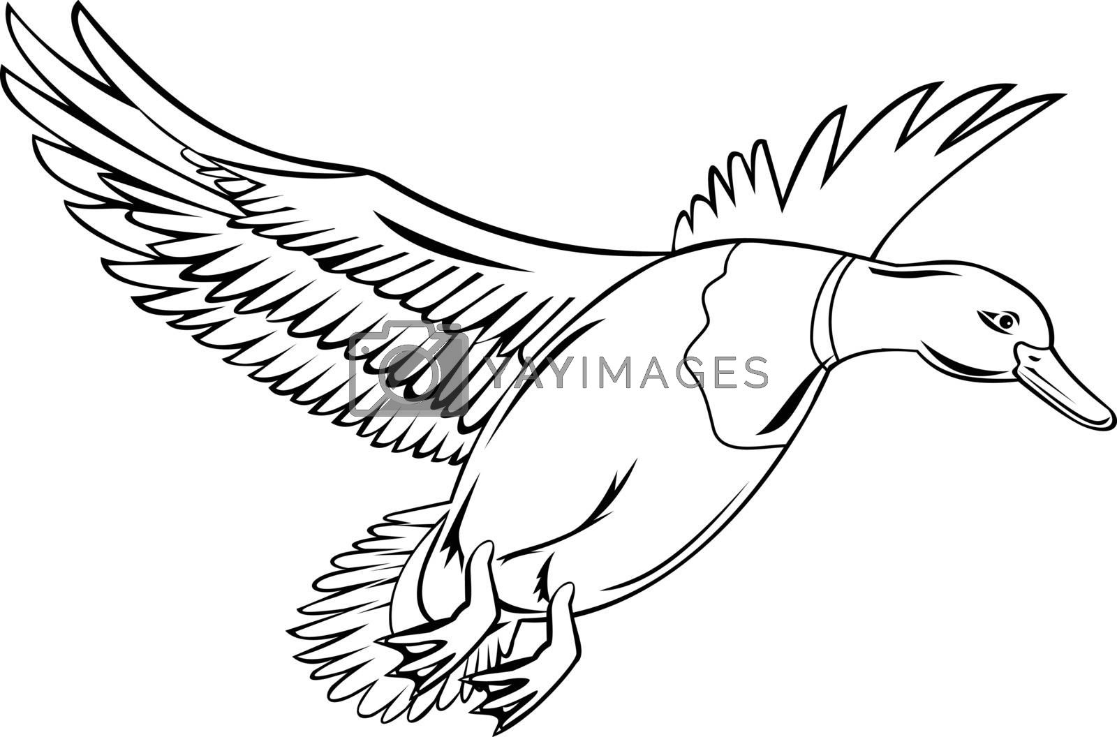 Retro style illustration of a drake male bird mallard, a dabbling duck that is subfamily Anatinae of the waterfowl family Anatidae, flying up on isolated background done in black and white.
