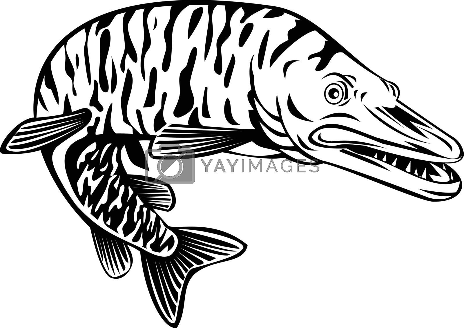 Retro style illustration of a  tiger muskellunge, Esox masquinongy, tiger muskie, a carnivorous fish hybrid offspring of true muskellunge and northern pike on isolated background in black and white.