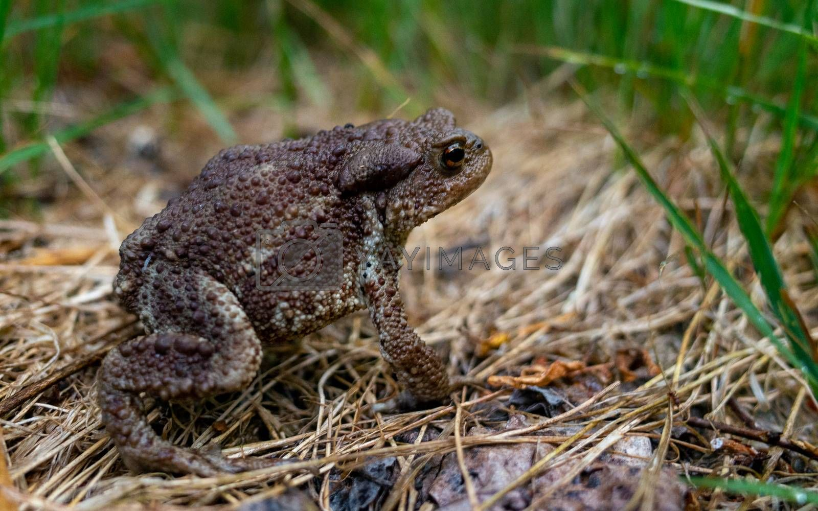 Common or grey toad (Bufo bufo) on a dried grass Mat in a summer forest.