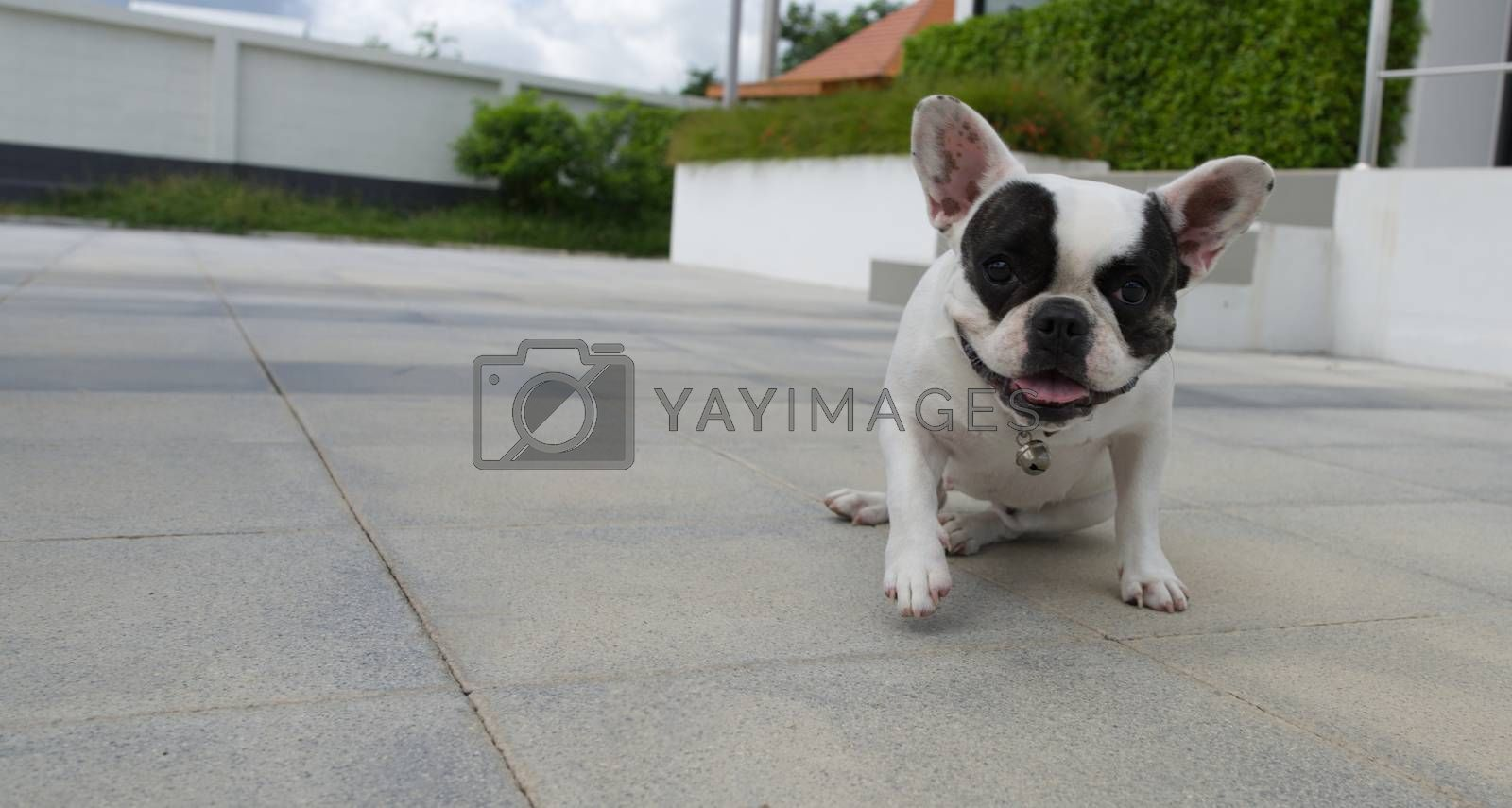 French bulldog on the sidewalk looking at the camera.