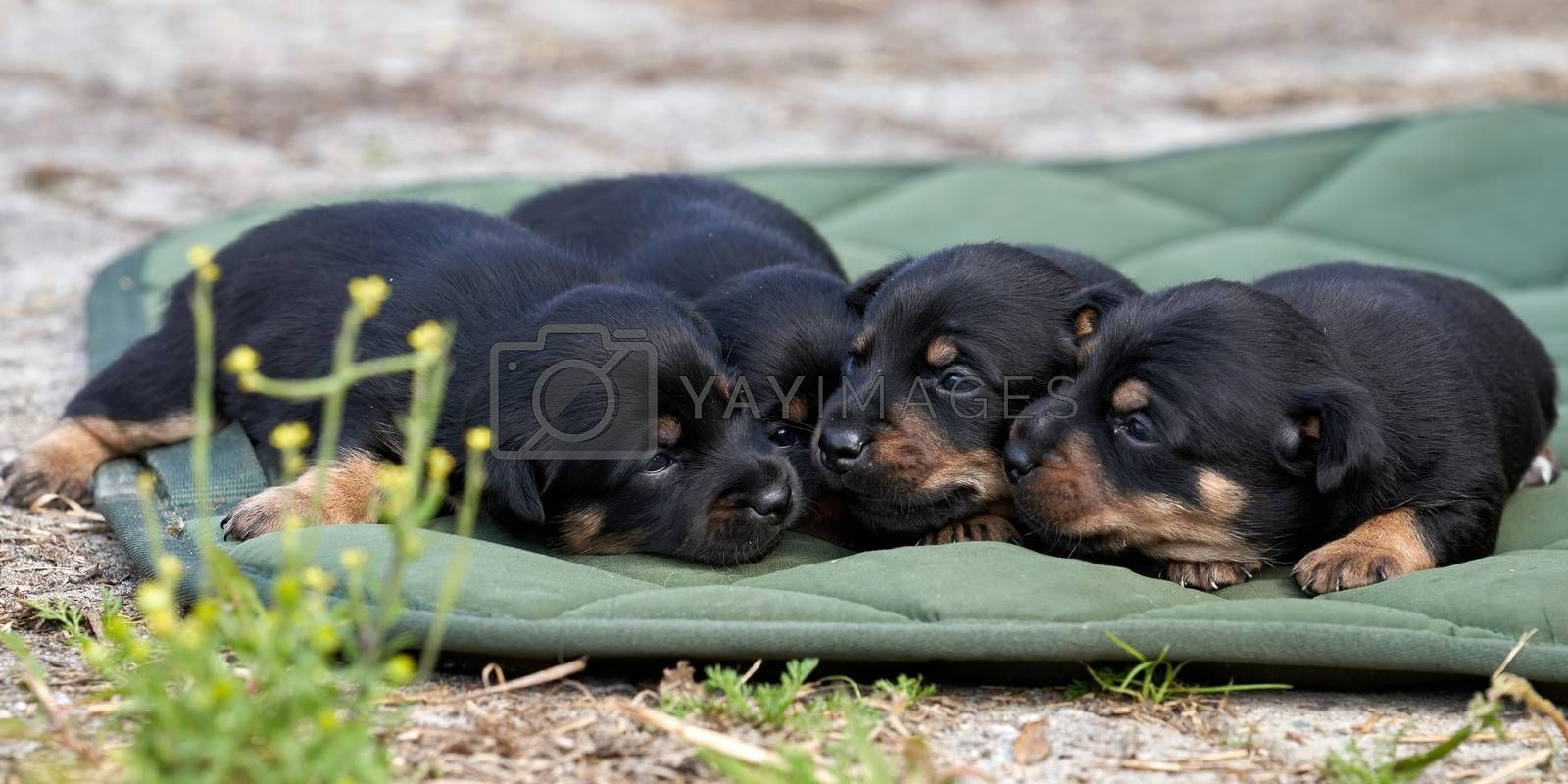 Jack Russell terrier puppies. Close-up portrait, lie on a green cloth. Banner or cover.