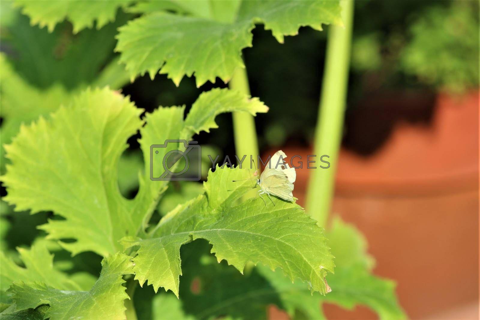 One cabbage white butterfly on a zucchini leaf