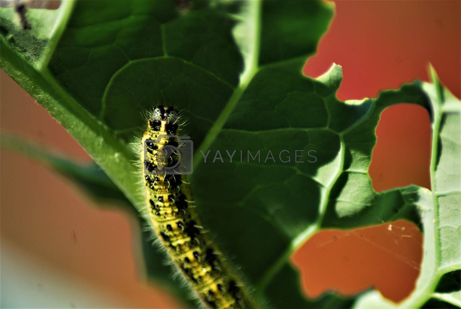 Close-up of a cabbage caterpillar on a cabbage leaf