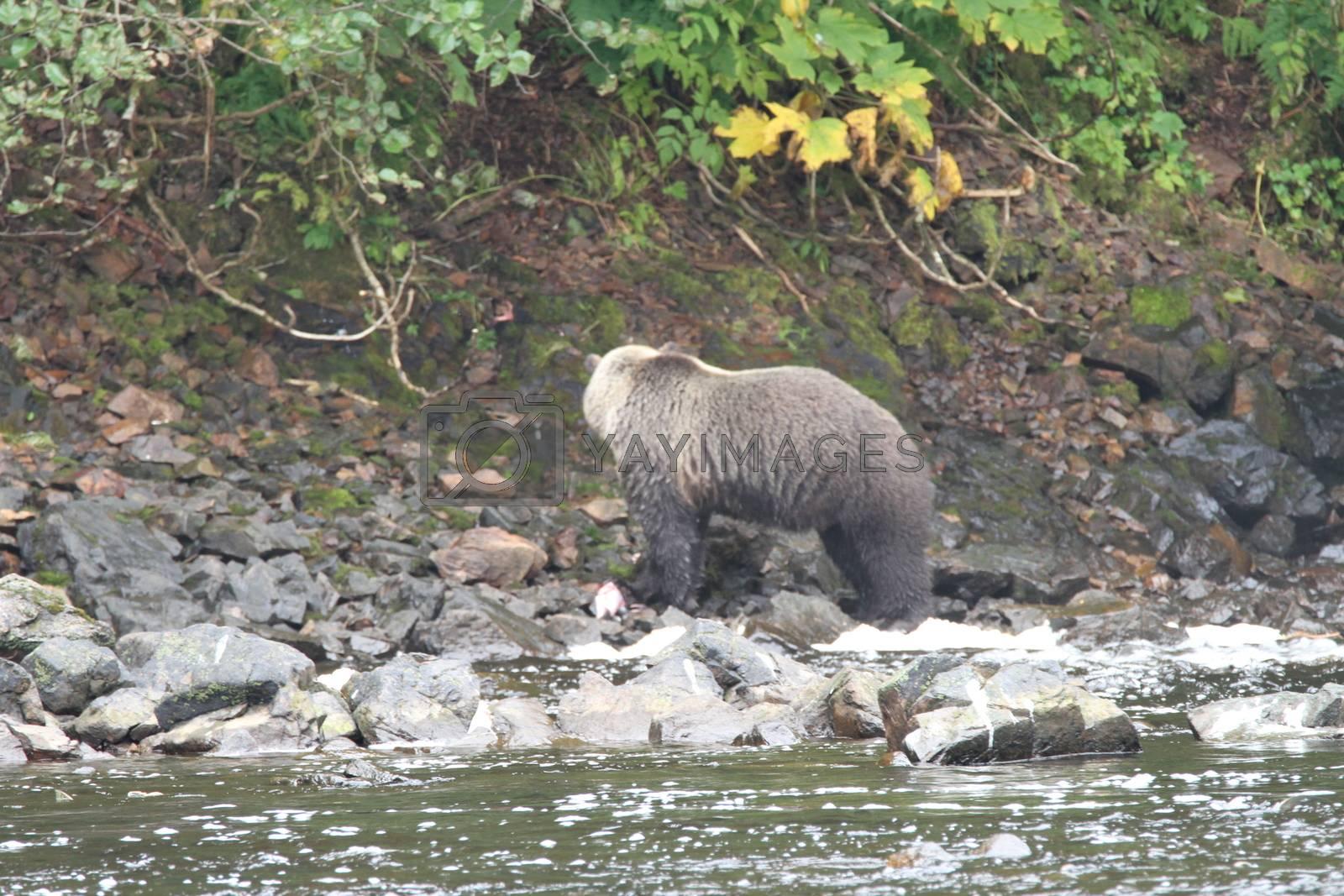 Bear viewing in Pavlov lake and pack creek, alaska