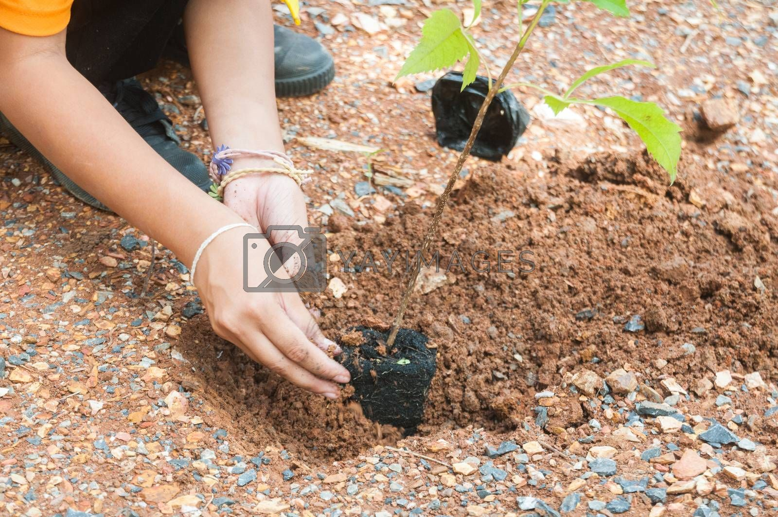 Student hands of School Girl in motion of Plantation tree on the ground as concept of Green environment and conserving