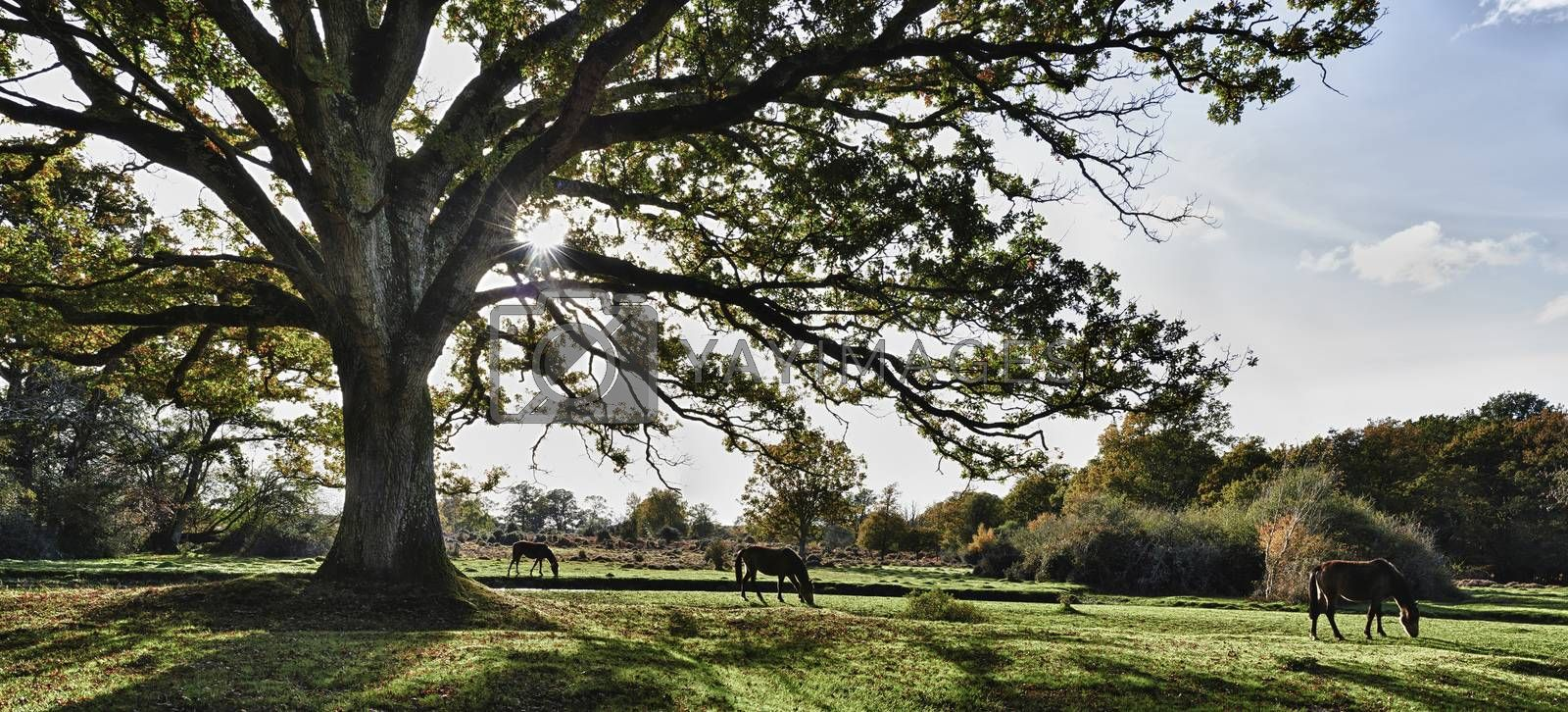 Panoramic view of wild hoses grazing under large tree in New Forest,Hampshire