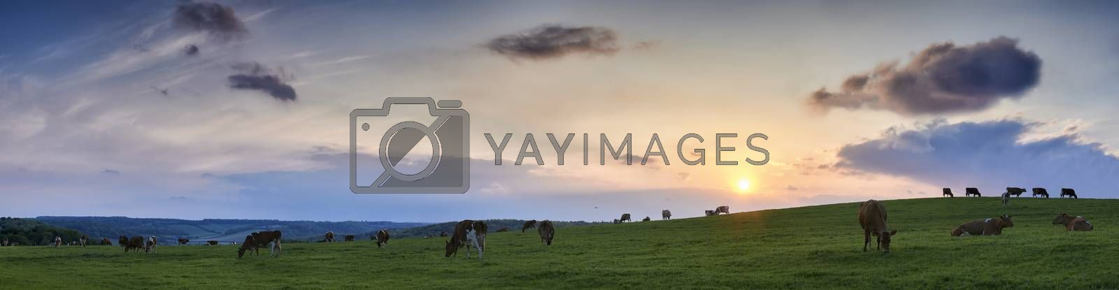 Panoramic view of a herd of scattered cows grazing in fields in The Chiltern Hills with sunset and skyscape