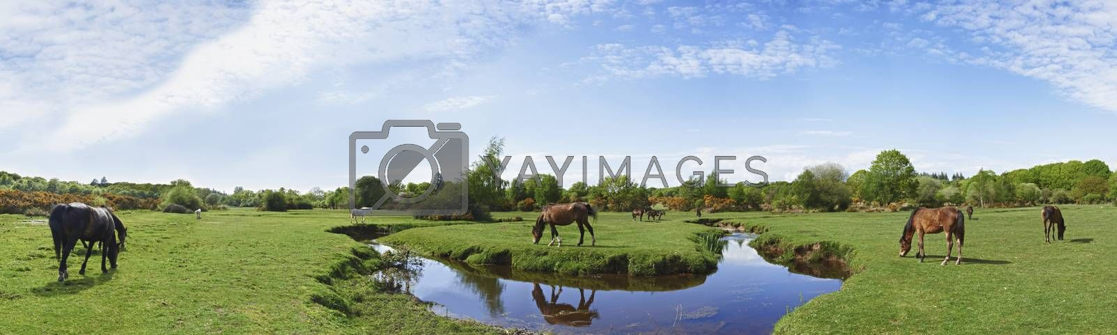 Panoramic view of wild horses grazing in the New Forest
