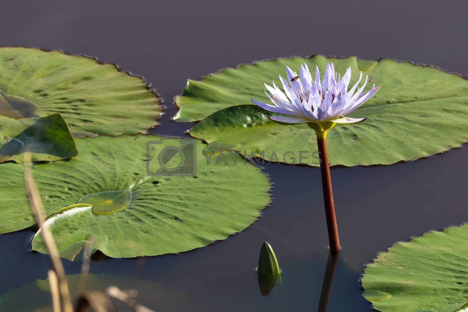 A blooming cape waterlily (Nymphaea nouchali) and lily pads on freshwater pond, George, South Africa