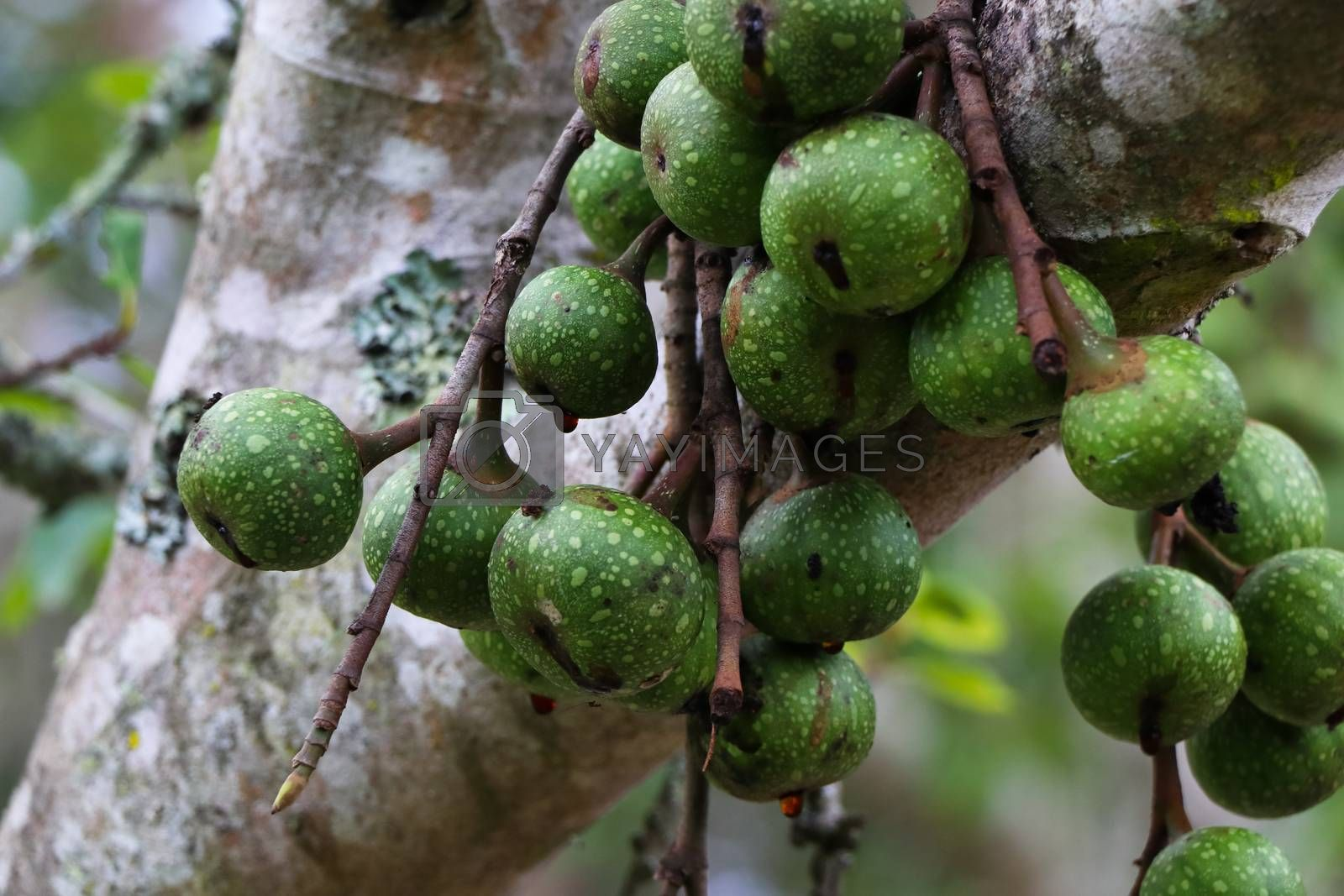 Natural growing wild rubber fig fruit (Ficus polita) in forest, George, South Africa