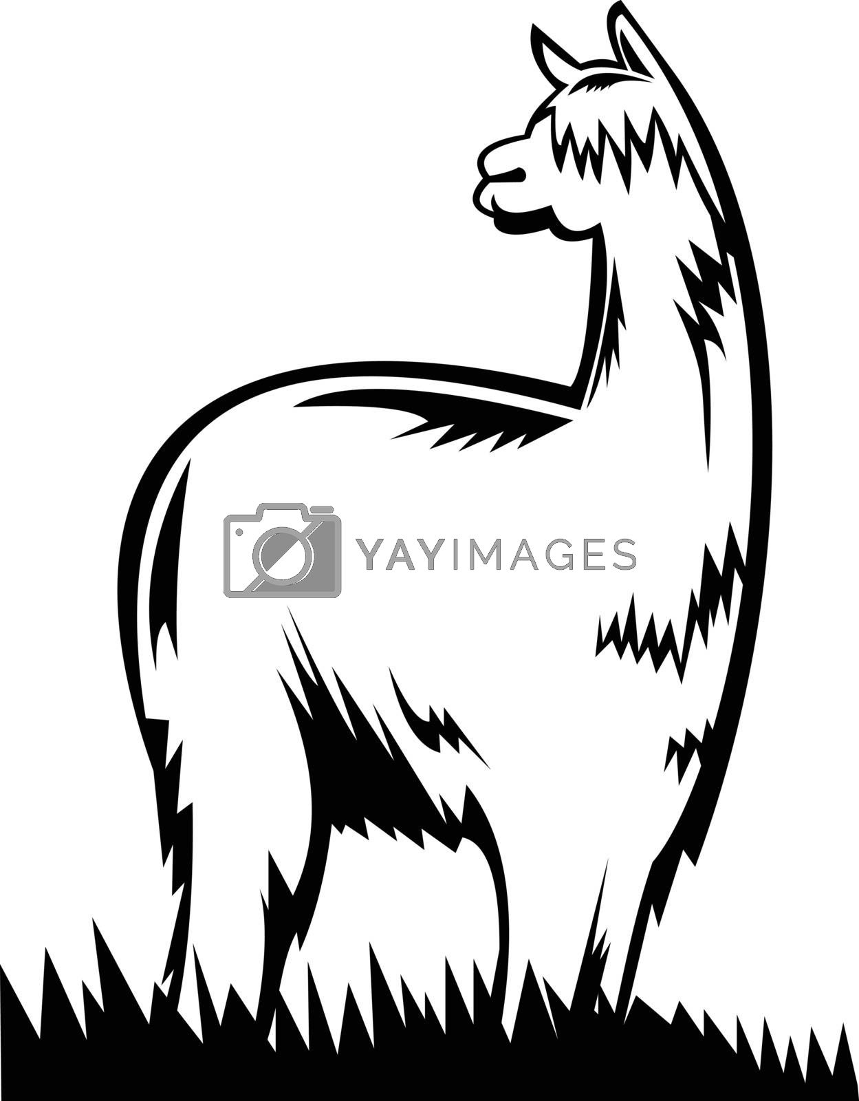 Retro black and white style illustration of a suri alpaca or huacaya one of the two breeds that make up the species vicugna pacos native to south america, viewed from side on isolated background.