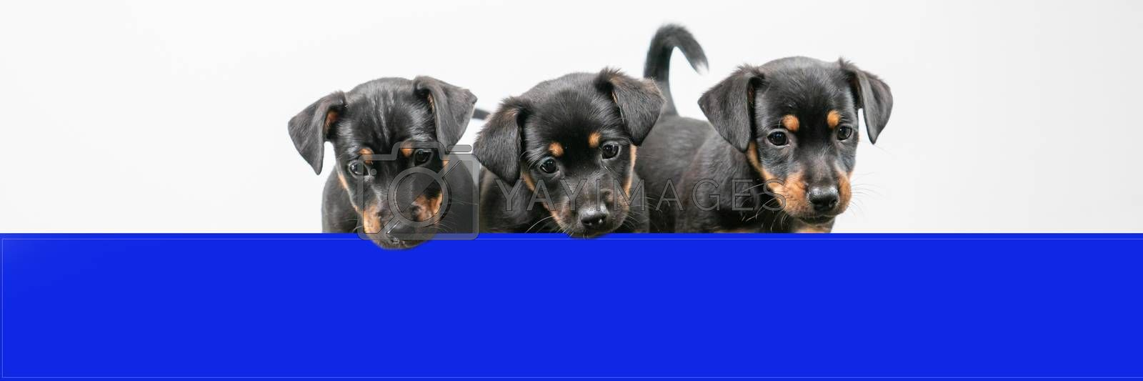 Three Jack Russell terrier puppies behind a blue shelf, only heads and tails. Cover or social media.