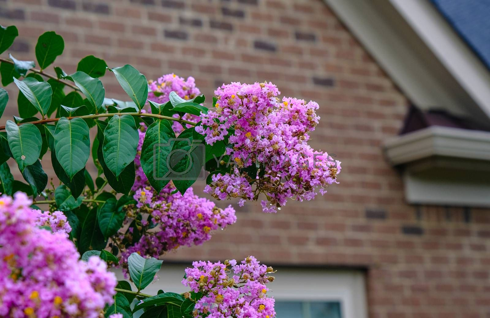 Pink Crepe Myrtle in Rain with drops on blooms