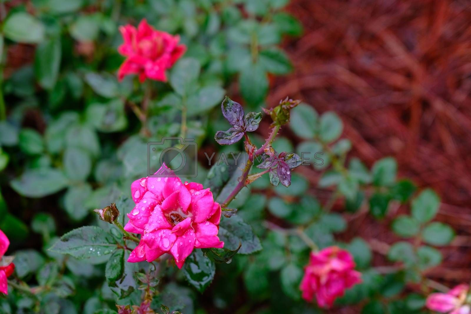 Red and Pink Roses in Rain in a Landscaped Garden