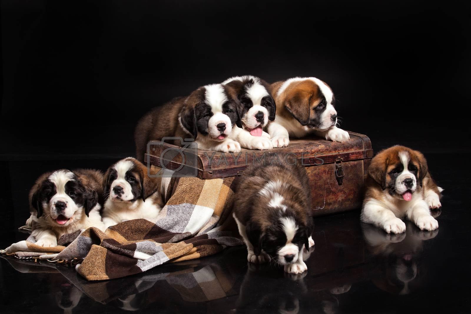 Little St. Bernard Puppies on a black studio background