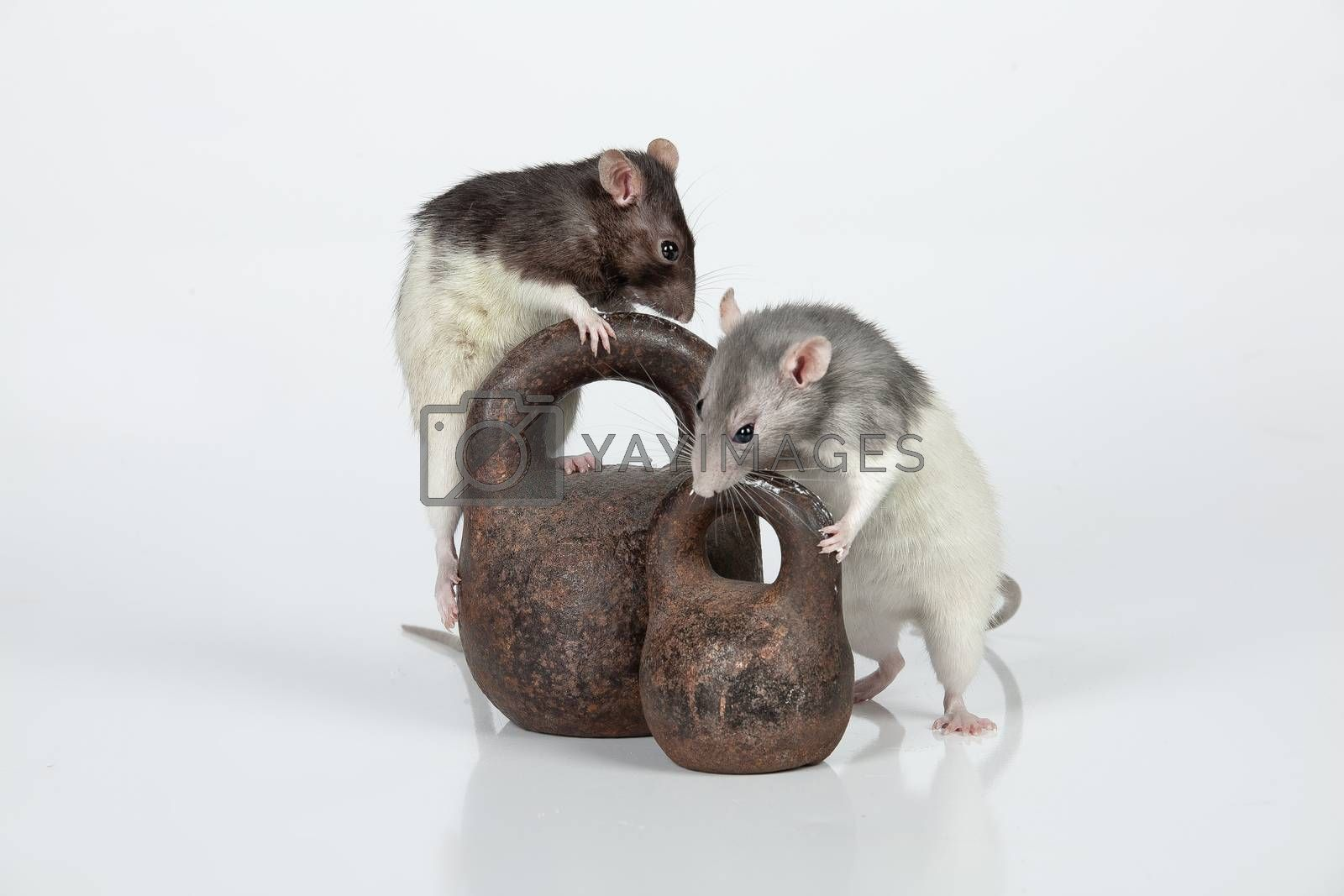 Two rats and two old weights on an isolated studio background