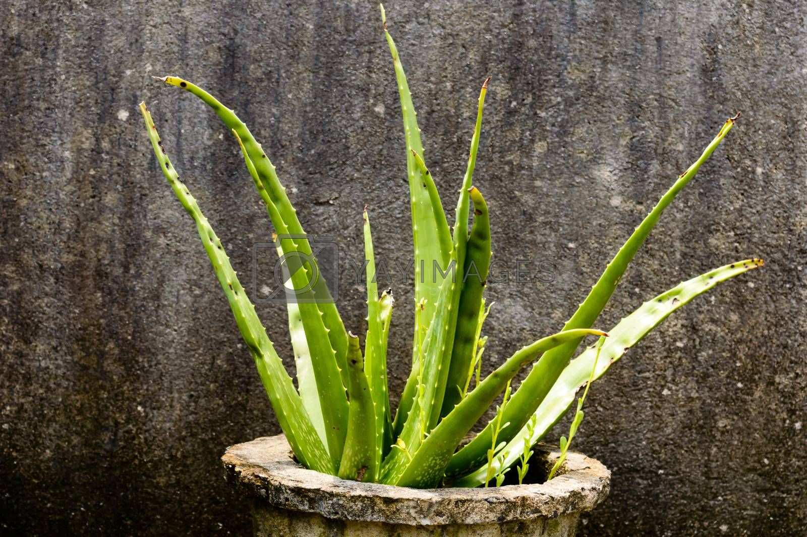 House plant tubers. Houseplant aloe vera plant with green leaves in direct sunlight against grungy isolated background. Design element. Copy space room for text.