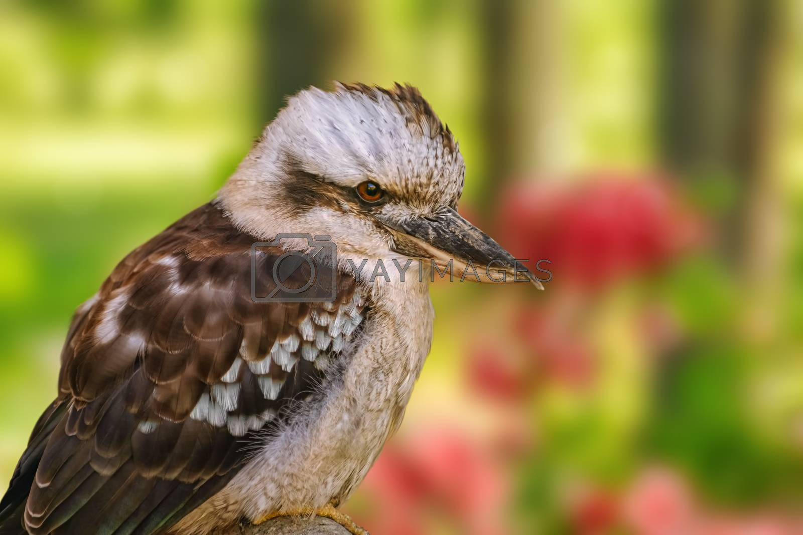 Kookaburras, terrestrial tree kingfishers by SNR
