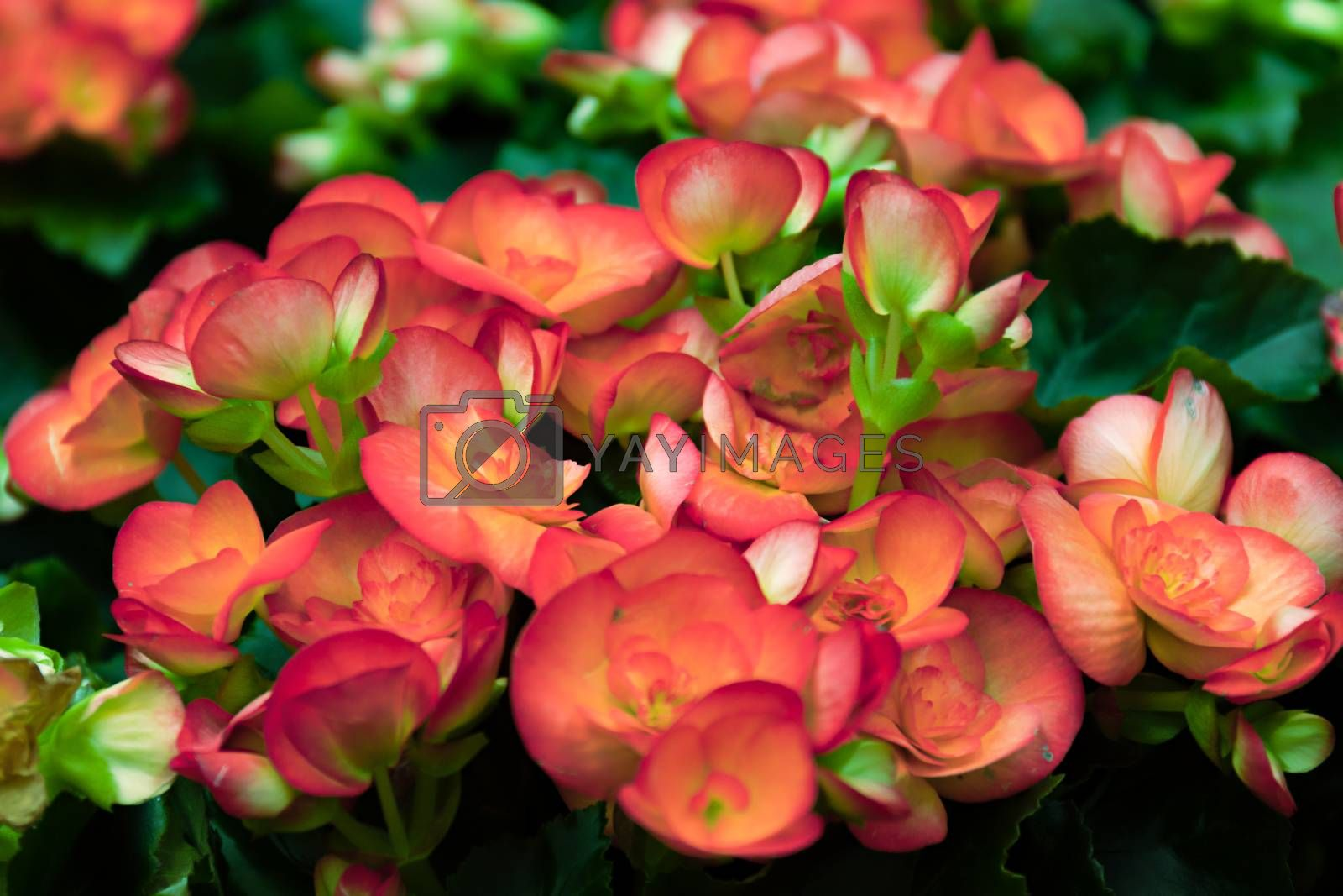 blooming begonia. Floral pattern. Flower background texture. Red begonia.