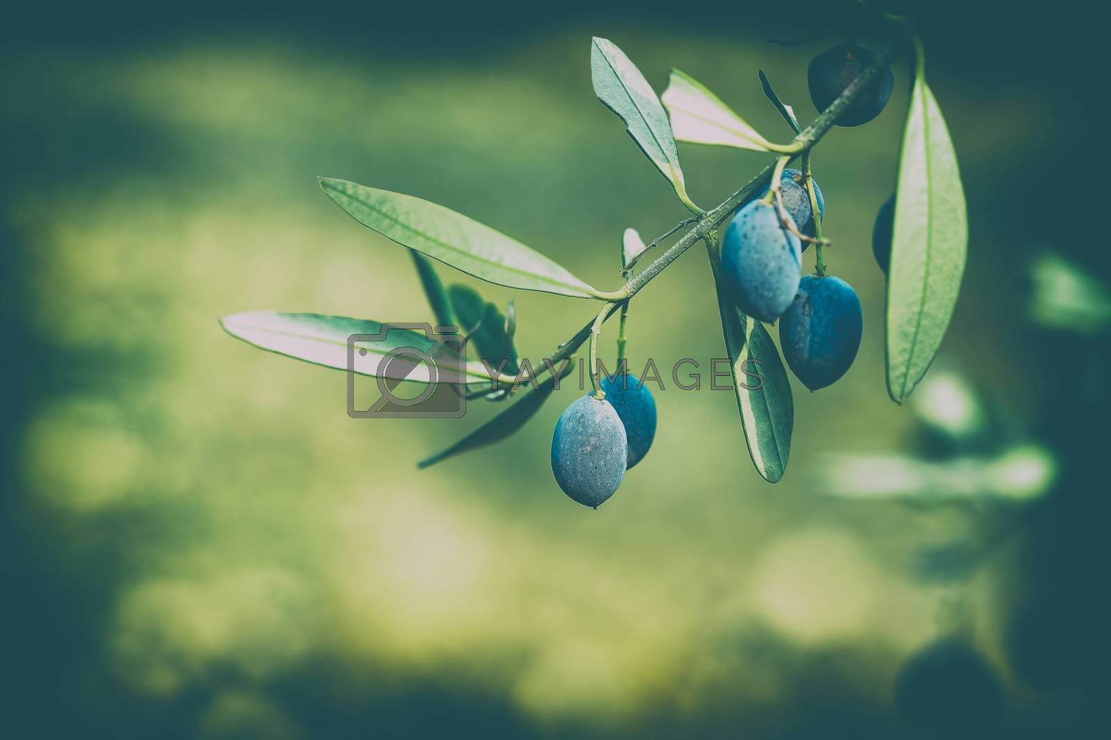 Closeup Photo of an Olive Tree Branch on Blurry Green Background. Traditional Mediterranean Berry. Healthy Organic food.