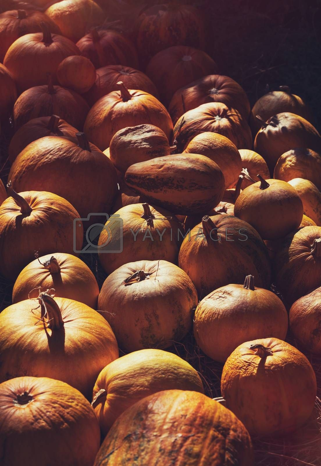Ripe Orange Pumpkins in Mild Sunlight. Autumn Harvest Season. Traditional Thanksgiving Food and Halloween Decoration.