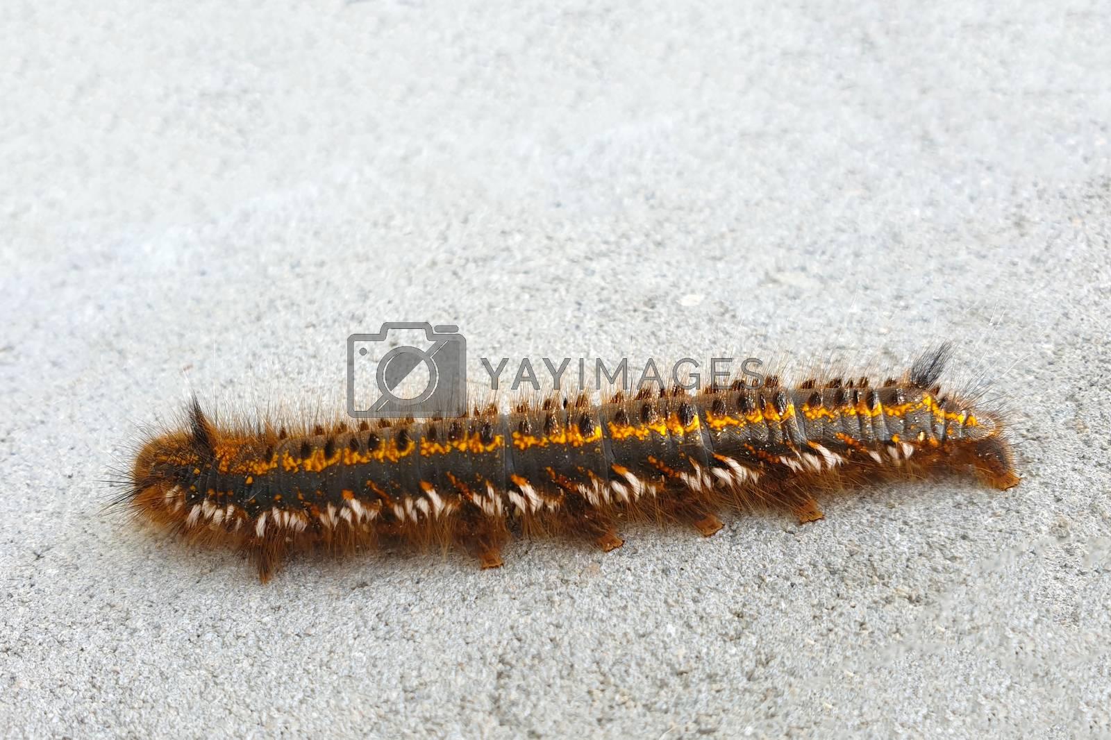 Hairy black caterpillar. Caterpillar on white background