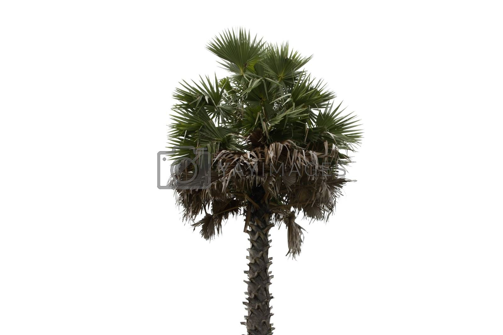 One old palm tree isolated on white background.