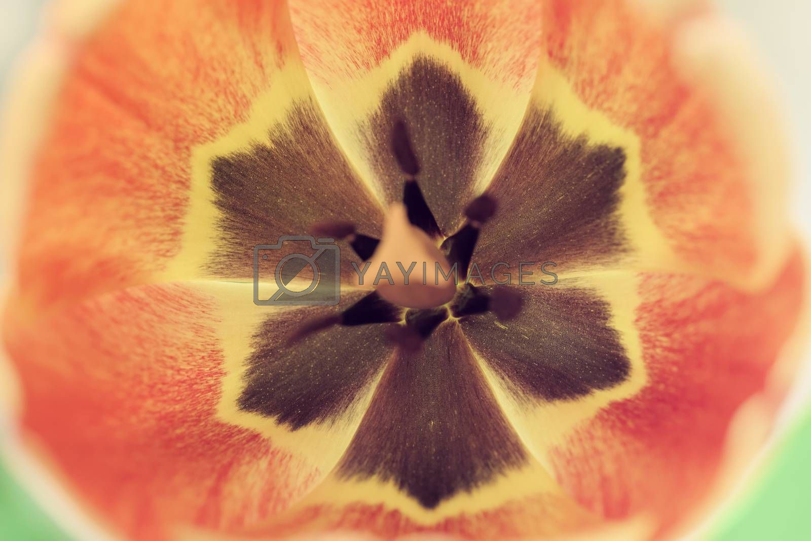 Tulip Flower. Background of flower petals. Soft blur in pastel colors.