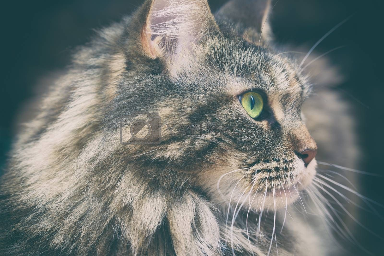 Beautiful cat on dark background. Maine Coon profile