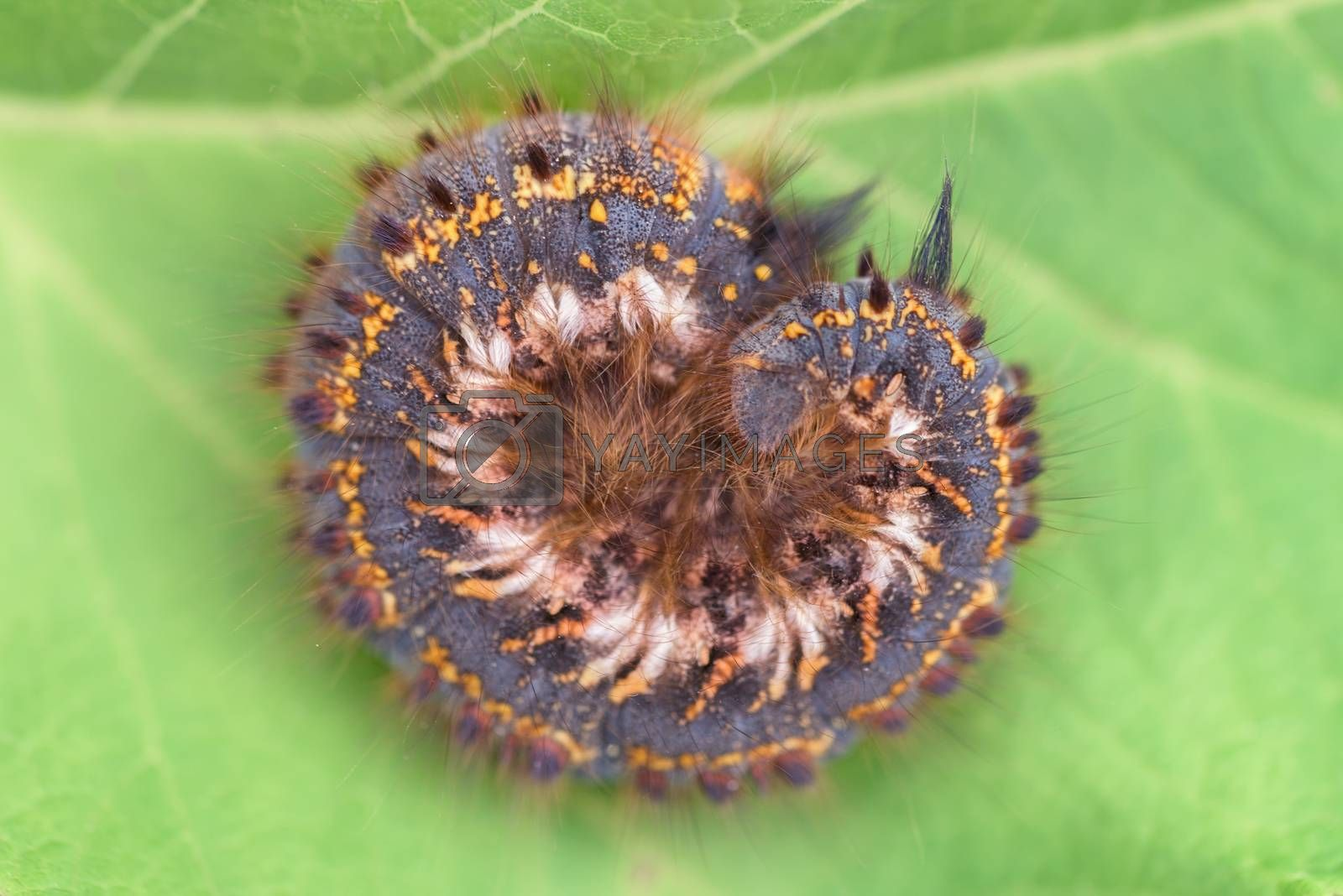Caterpillar on leaf. Caterpillar on green background