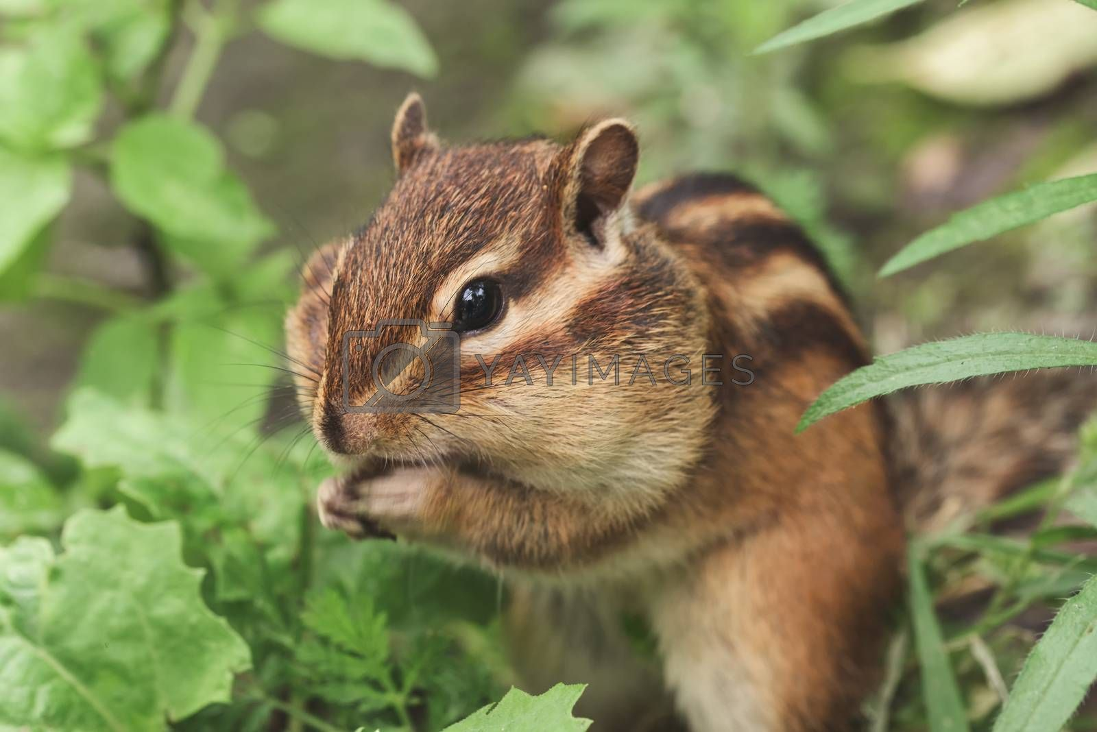 Chipmunk in nature. Chipmunk is stuffing food into mouth