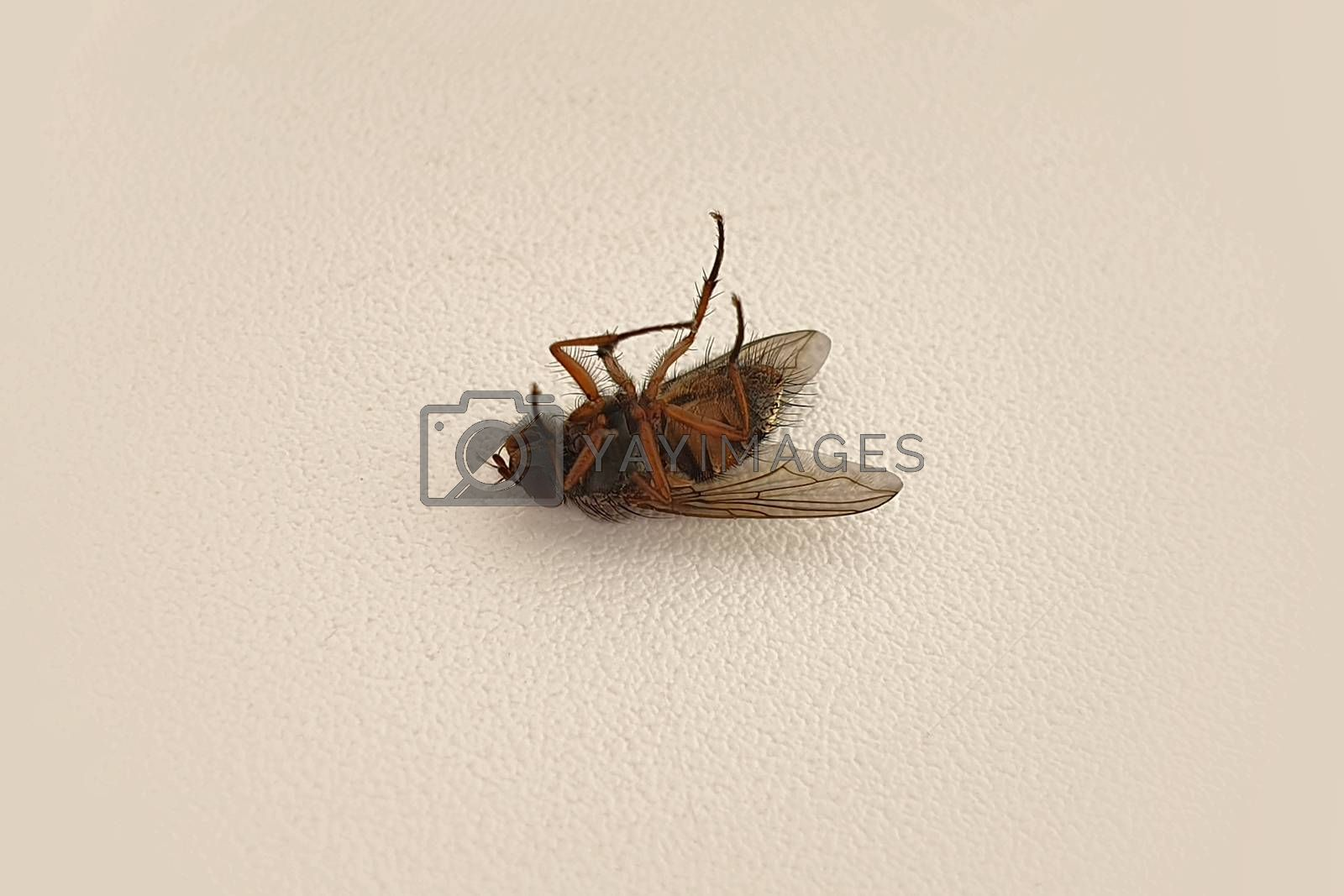 Dead fly lying on his back. Dead insect