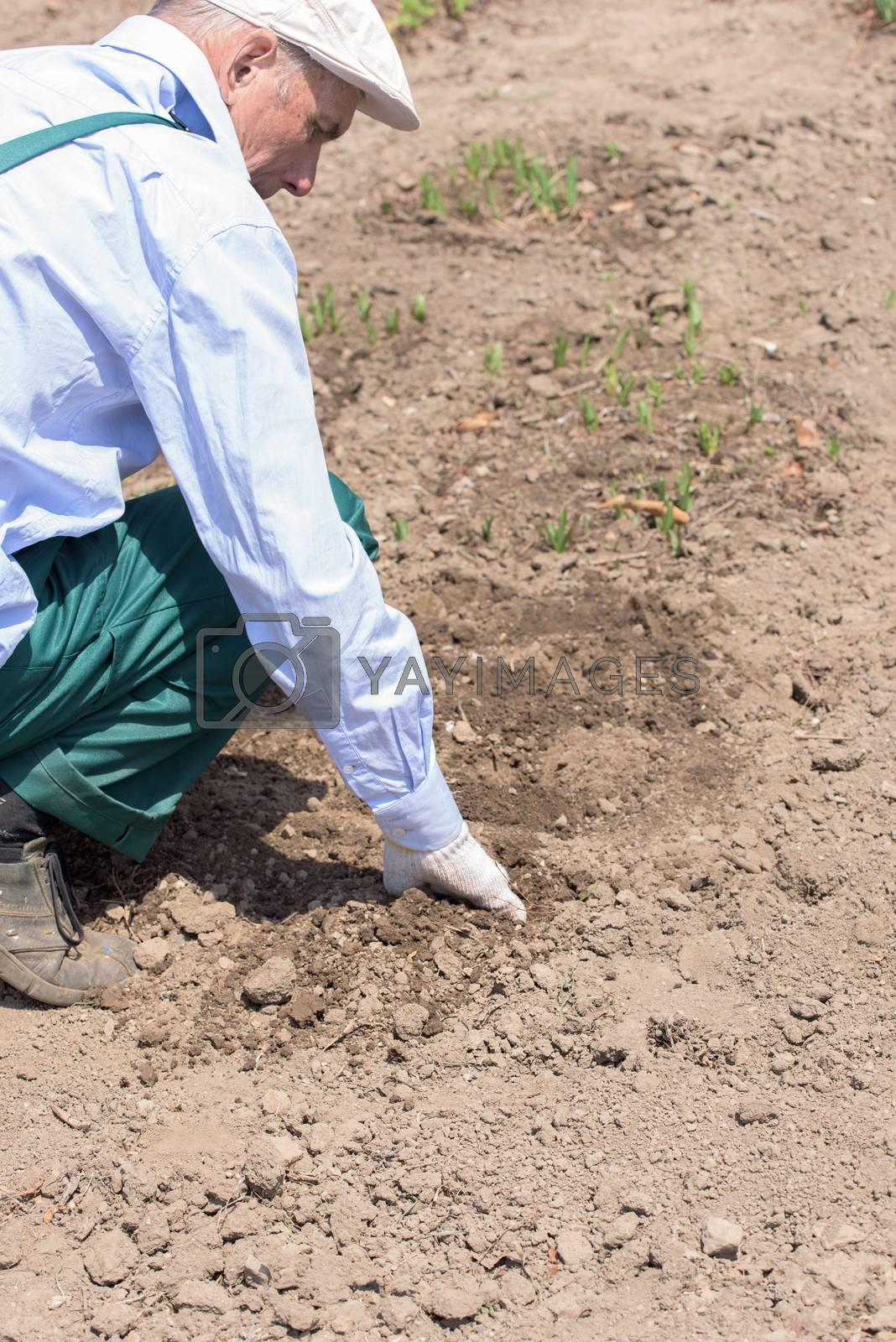 Farmer or employee working in the field. Farmer growing plant.