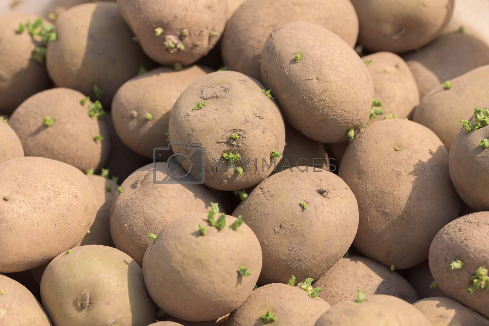 Potato tubers. Fresh potatoes on the field