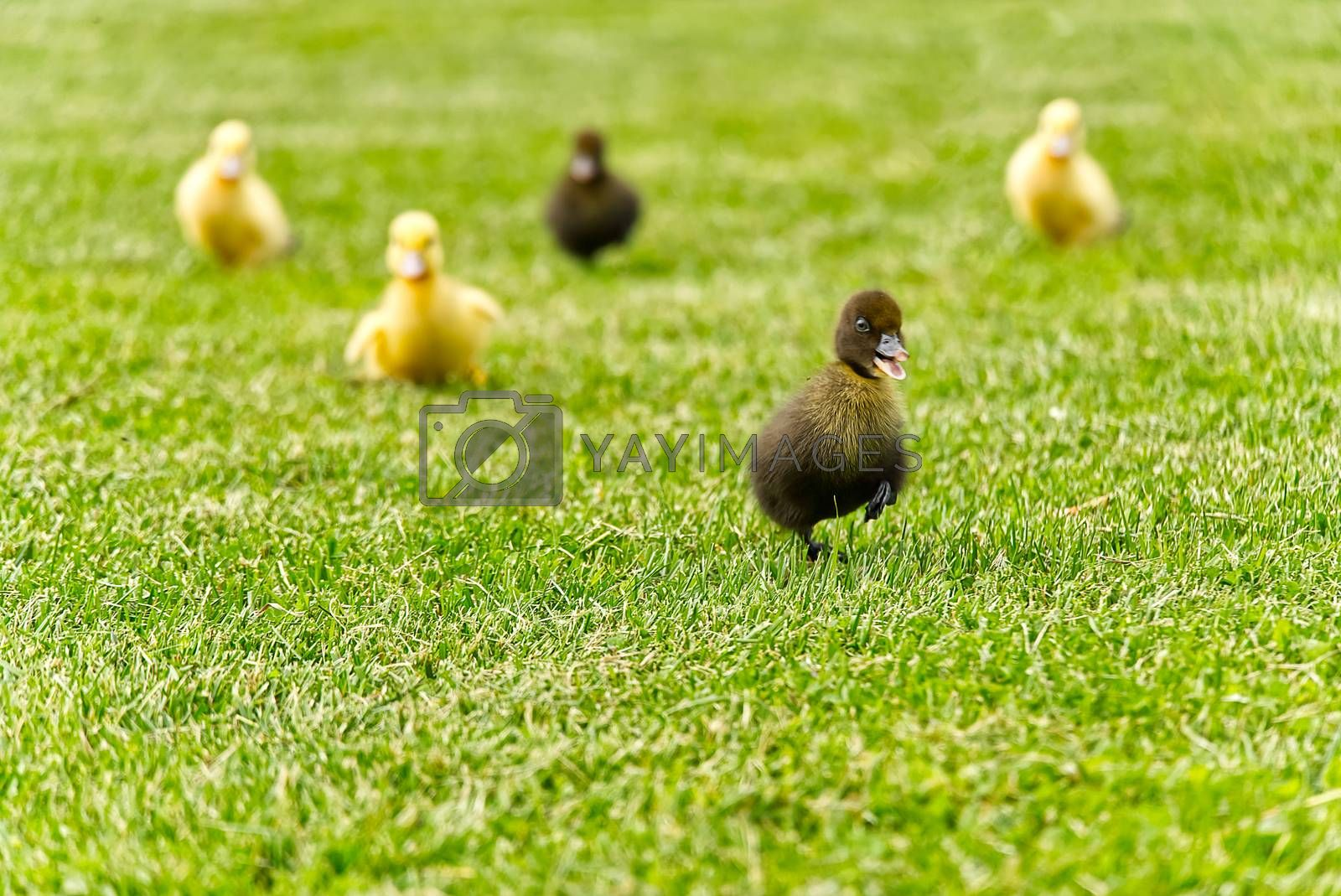 Small newborn ducklings running on backyard on green grass. Blured focus. Yellow cute duckling running on meadow field on sunny day