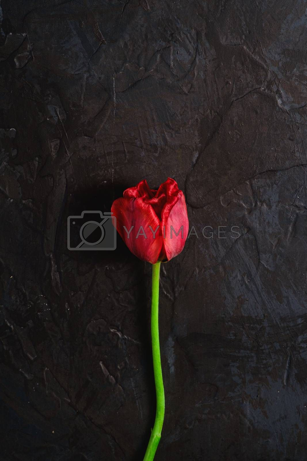 Single wilt red tulip flower on textured black background, top view copy space