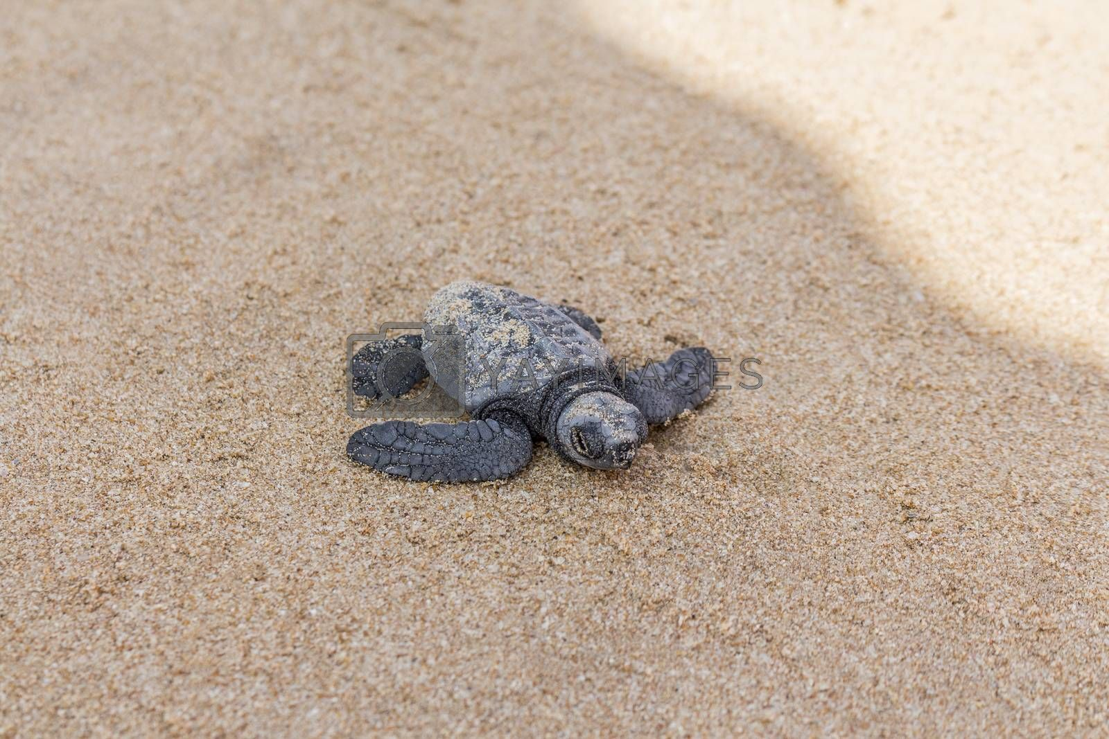 Freshly hatched turtle baby at the Mirissa Beach in Sri Lanka.