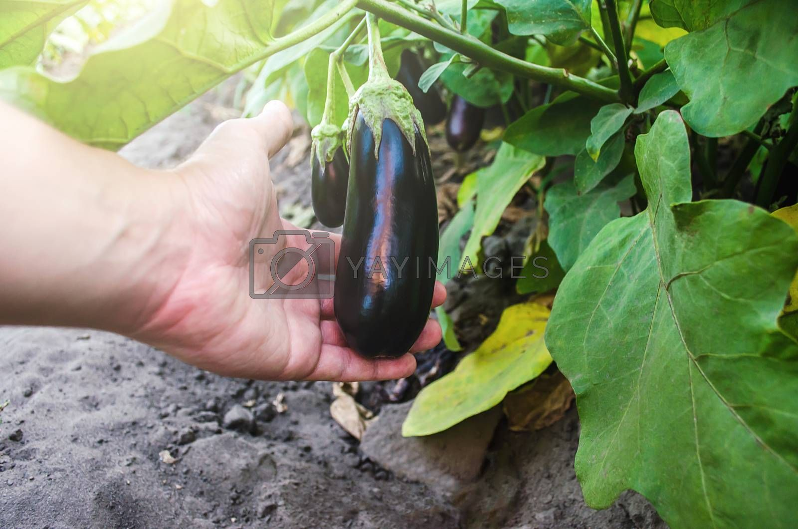 The farmer holds an unpicked eggplant in his hand. Agriculture, farm. Growing fresh organic vegetables on the farm. Food production. Solanum melongena L. Agroindustry and agribusiness.