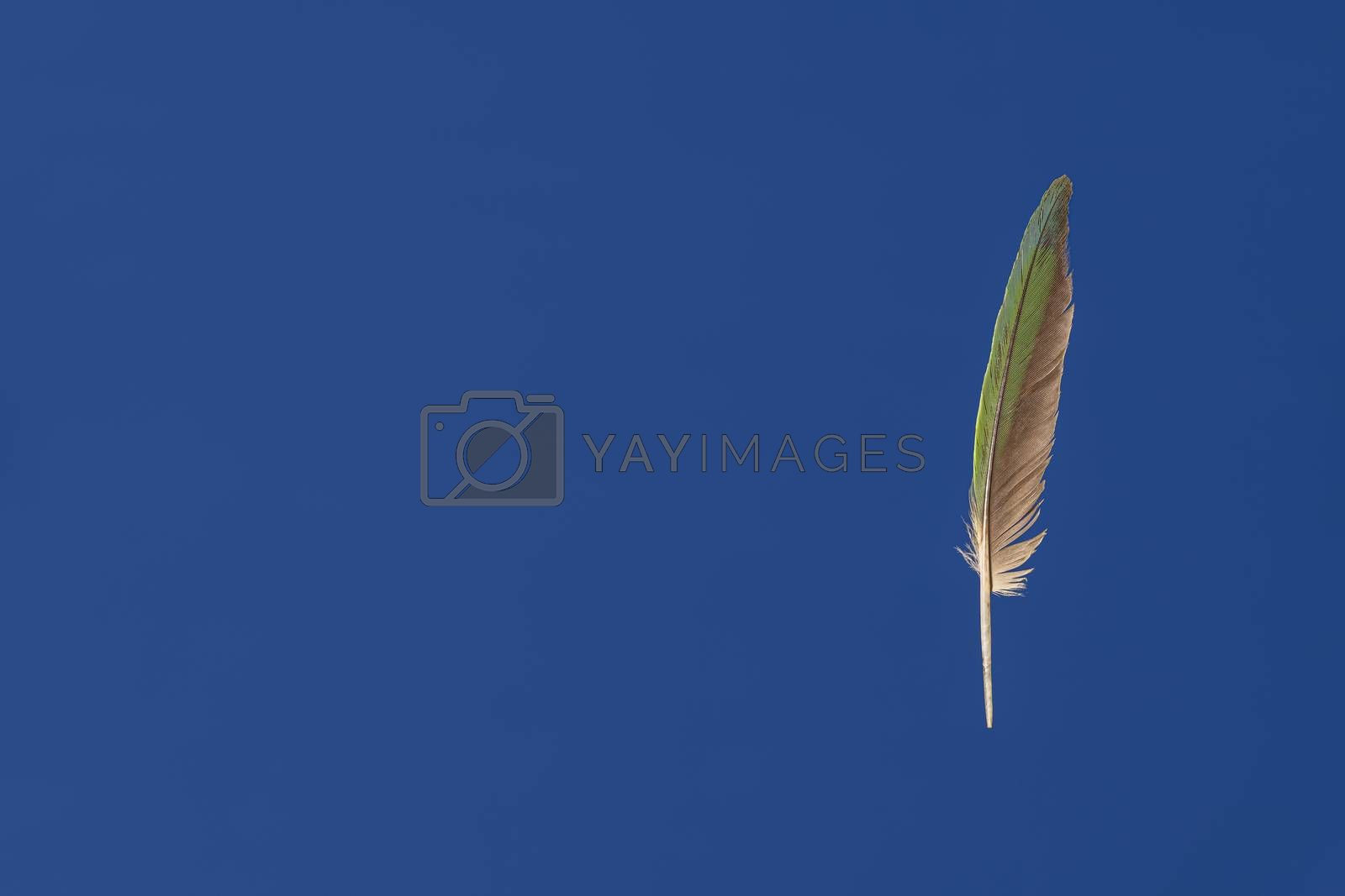 Isolated Green parrot feather against blue background with copy space. Feather looks like suspended in the air