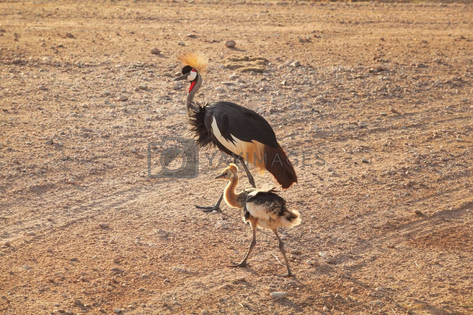 Royalty free image of Black crowned crane (Balearica pavonina) and its fledgling baby  by Ivanko