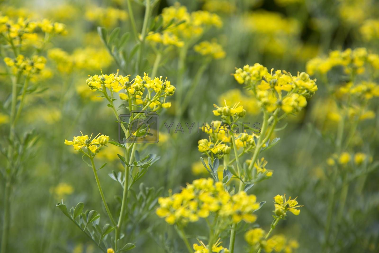 Royalty free image of Rue plant (Ruta graveolens) in the garden by Kasparart
