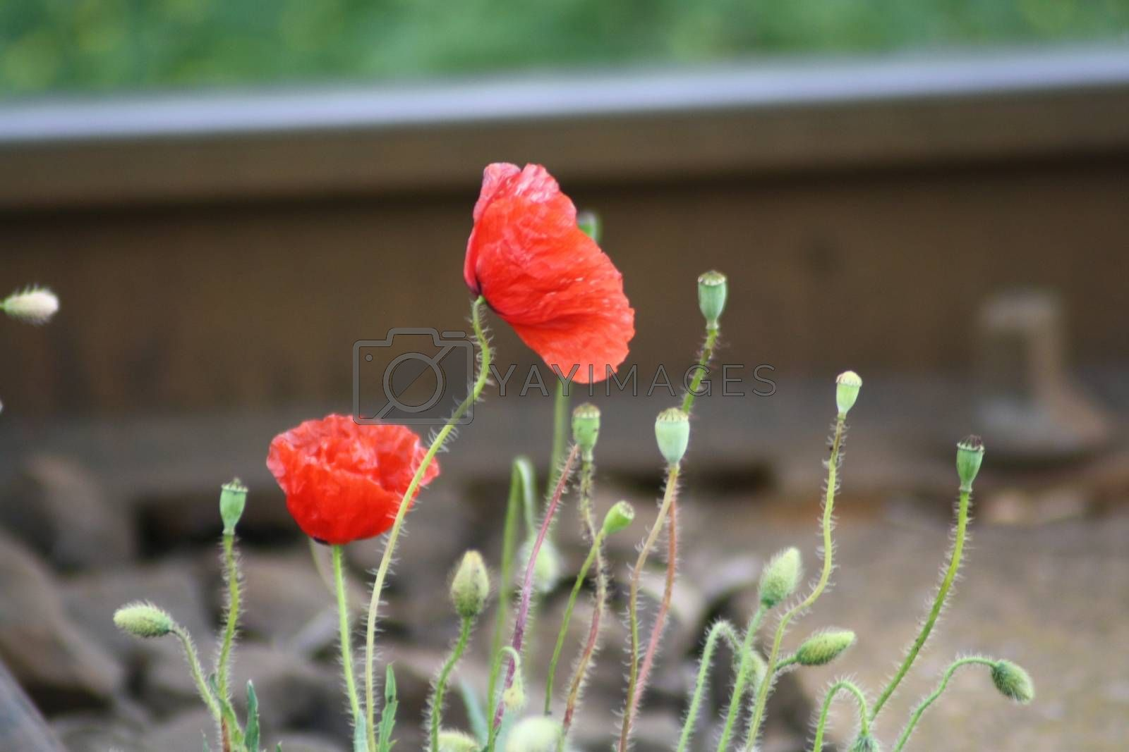 Royalty free image of A close up of a red poppies by balage941