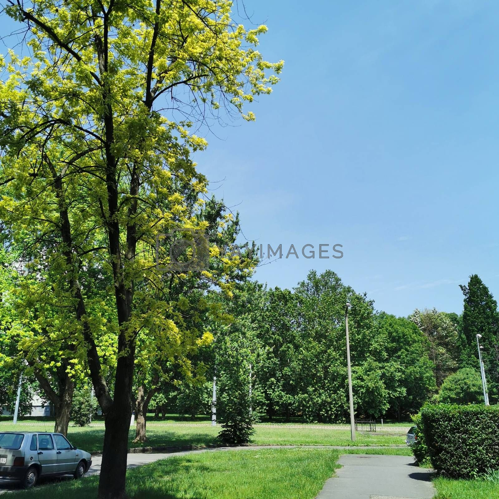 Royalty free image of A large tree in a park by balage941