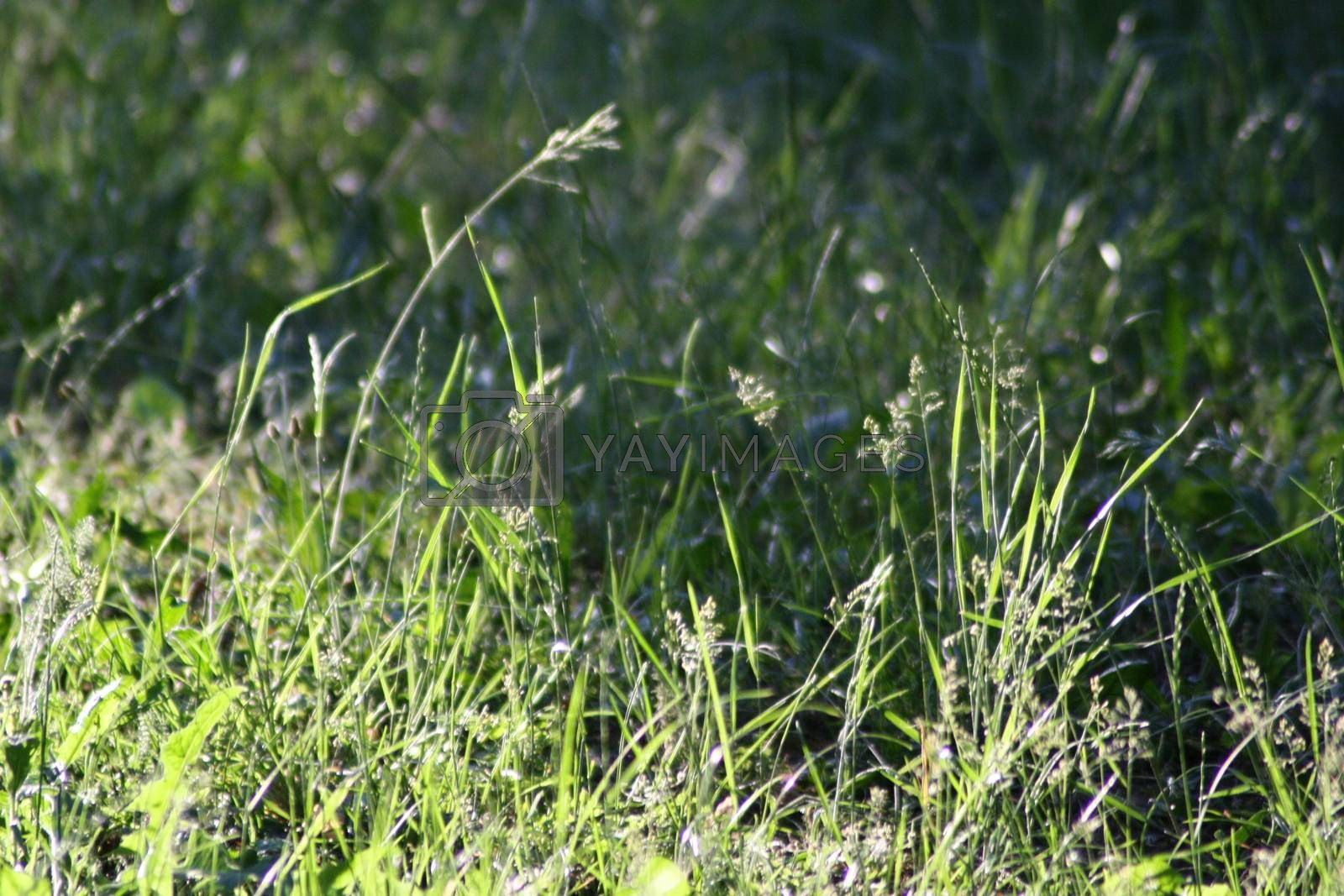 Royalty free image of A close up of a lush green field by balage941