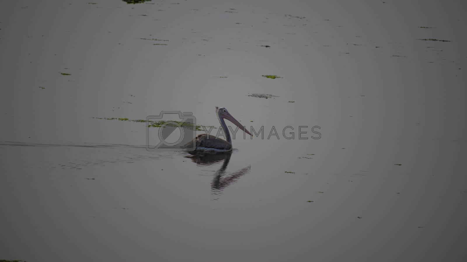 A Peruvian pelican bird swimming in a pond in Chennai city of india