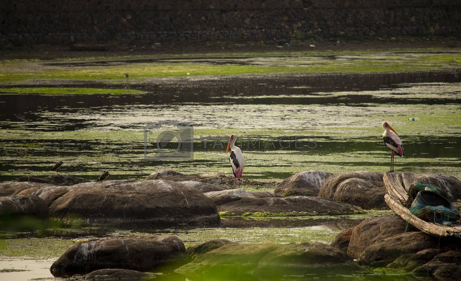 A couple of PAINTED STORK birds sitting on the rock stones in the middle of the water in the pond