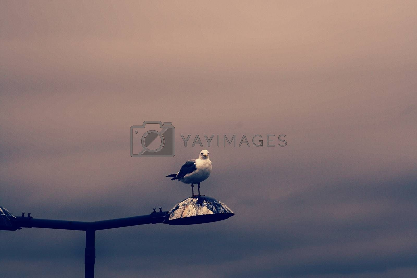 Royalty free image of Photo of the bird on the lamp by balage941