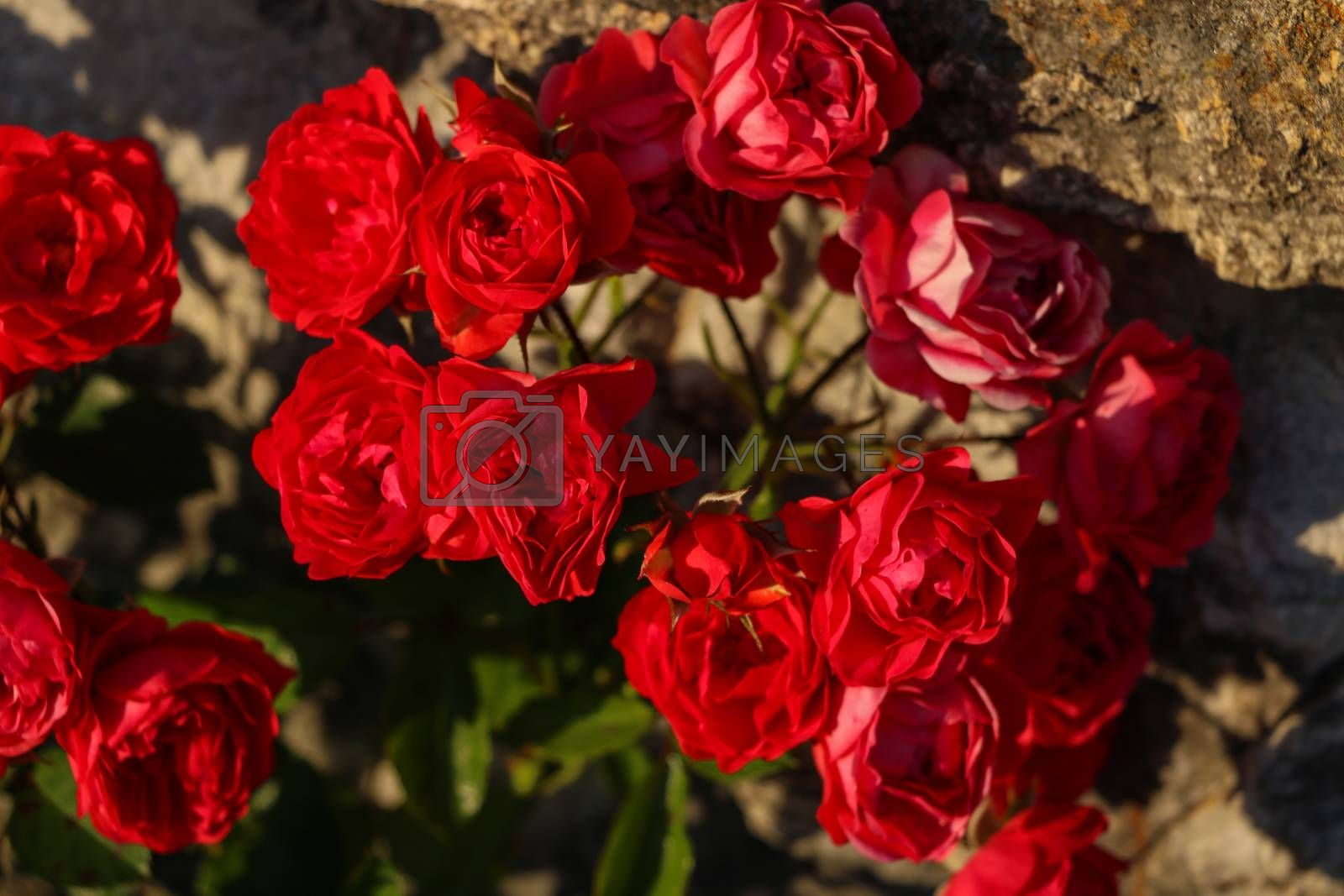 Royalty free image of Close up of red bright roses in the garden. by kip02kas