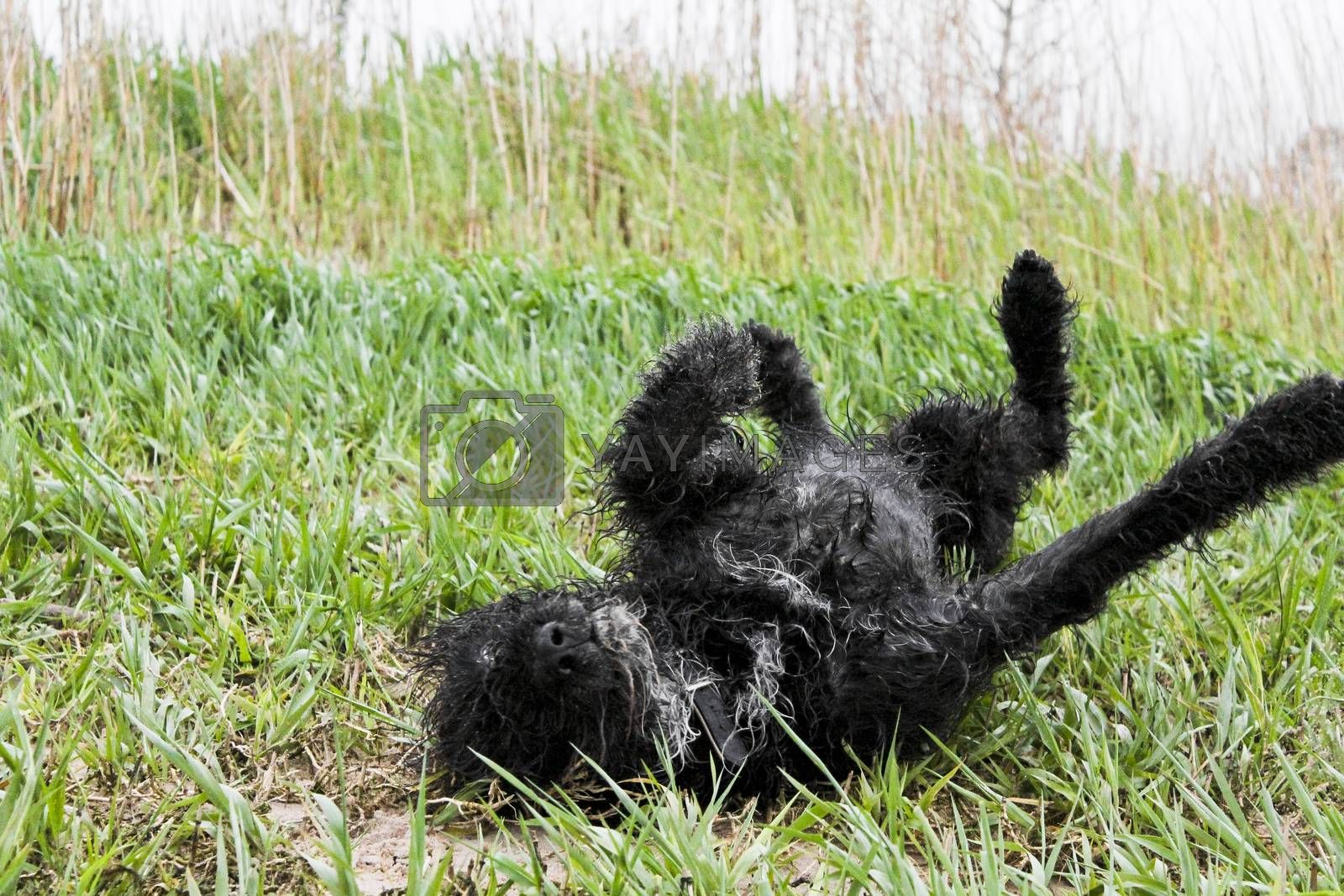 Royalty free image of Black wet and dirty dog very cute and playful. by Arkadij