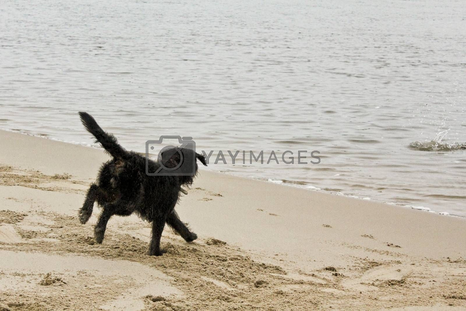 Royalty free image of Black wet and dirty dog very playful by the beach. by Arkadij